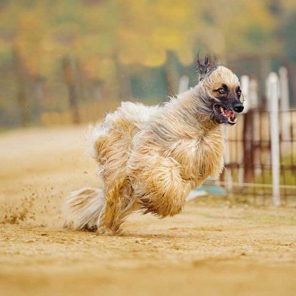 Afghanischer Windhund auf einer Rnnstrecke