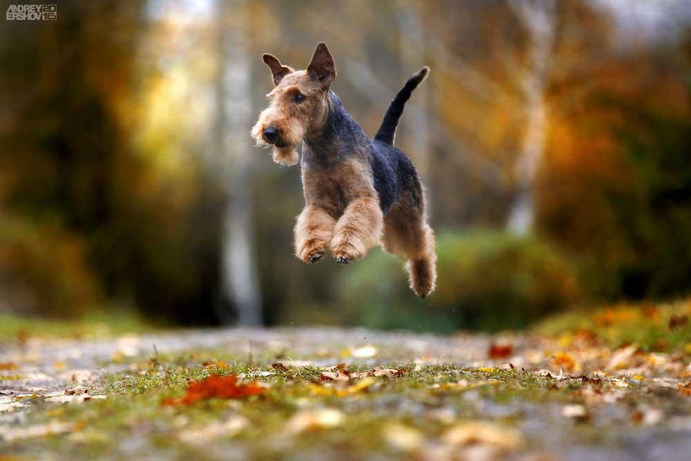 Airdale Terrier im Sprung