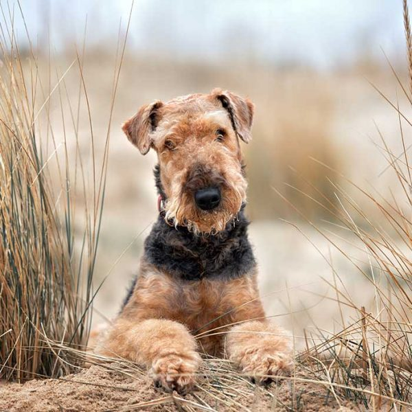 Airedale Terrier am strand