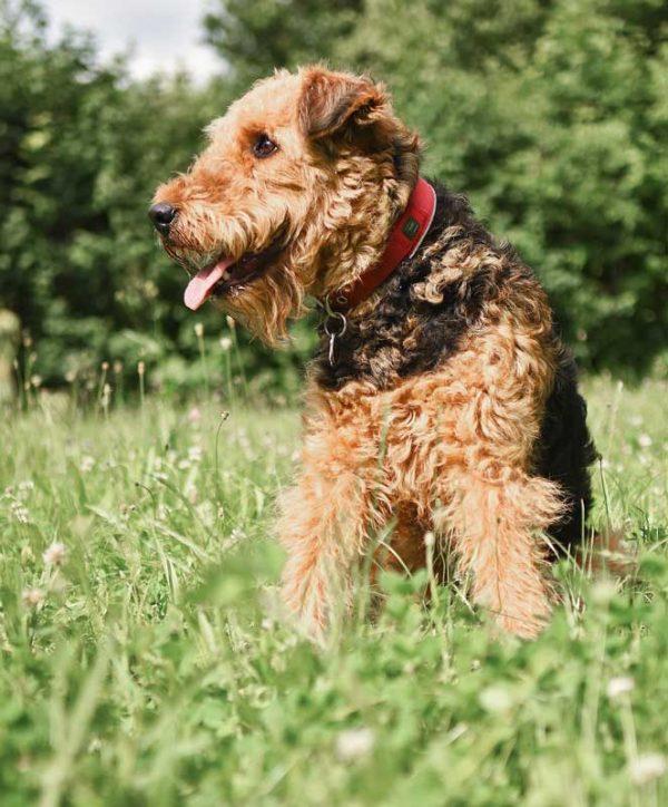 Airedale Terrier sitzend