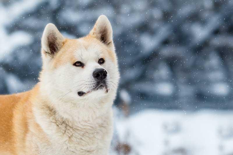 Akita Inu im Schnee