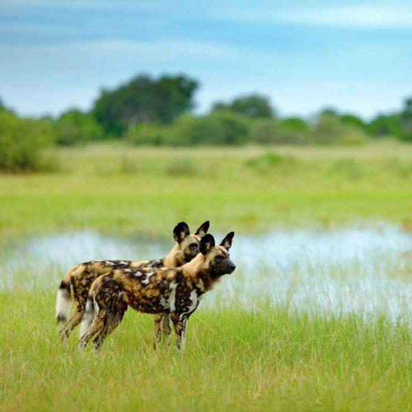 Zwei afrikanische Wildhunde