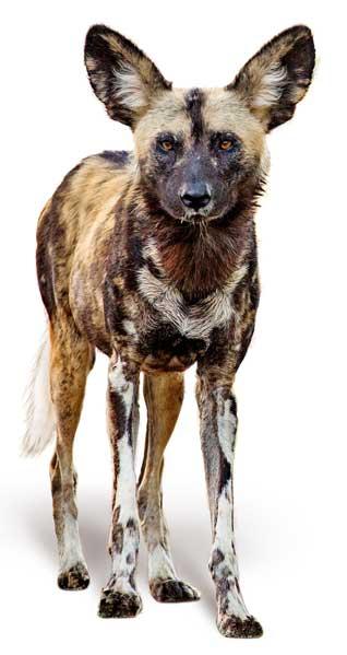 Afrikaner WIldhund Isoliert