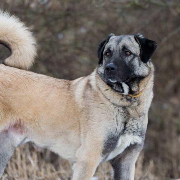 Anatolischer Hirtenhund seitenansicht