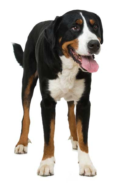 Appenzeller Sennenhund ausgewachsen