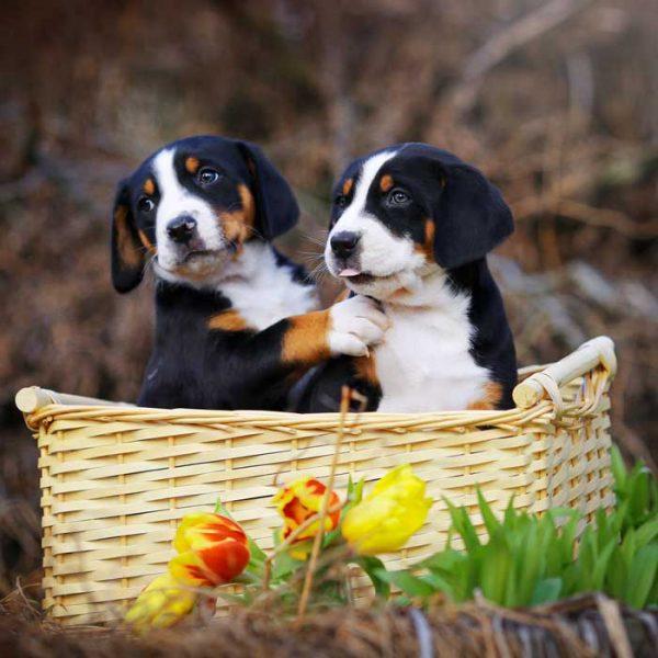 Appenzeller Sennenhund Welpen in einem Korb