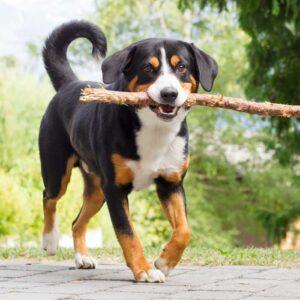 Appenzeller Sennenhund der einen Stock trägt