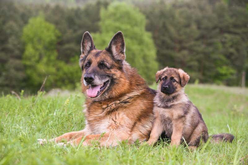 Altdeutscher Schäferhund mit Welpen