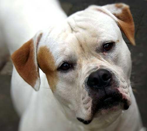 American Bulldog Nahaufnahme