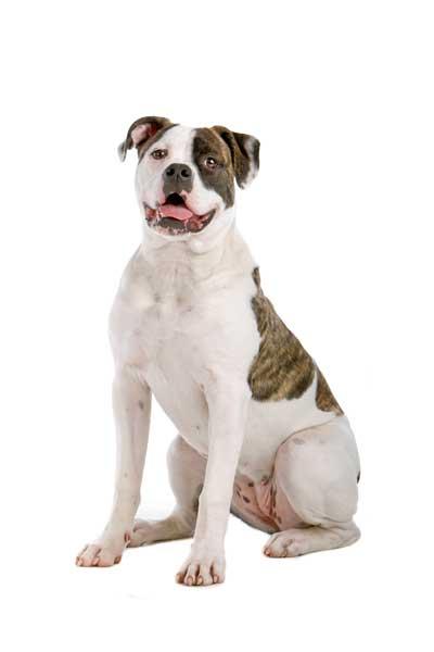 American Bulldog auf weissem Hintergrund Ganzkörper