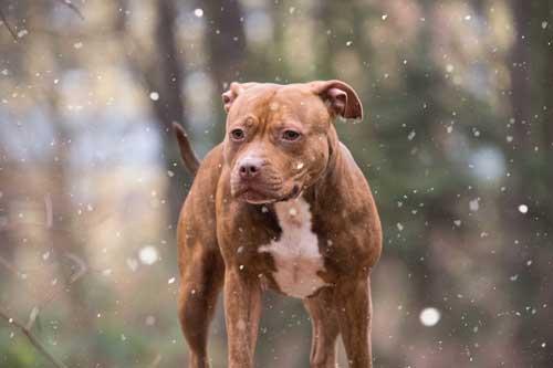 american pit bull terrier braun
