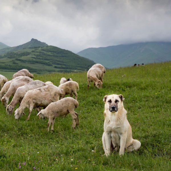 Anatolischer Hirtenhund bewacht eine Herde Schafe
