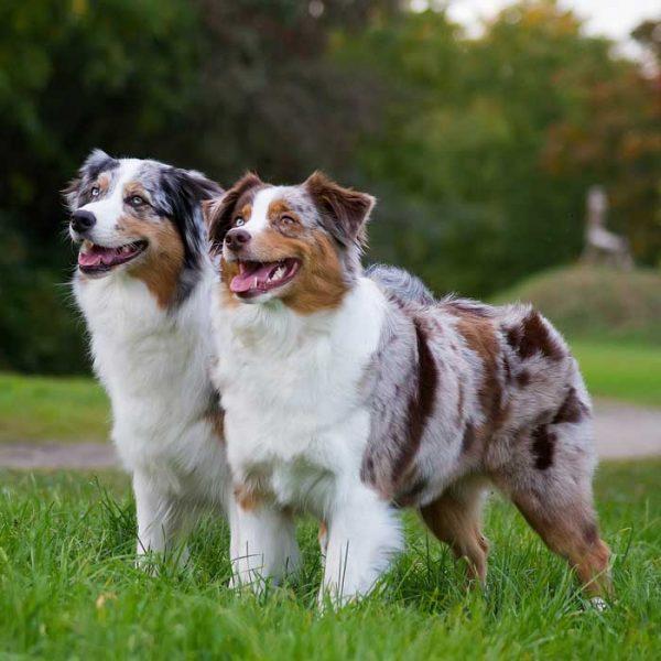 zwei australian shepherd