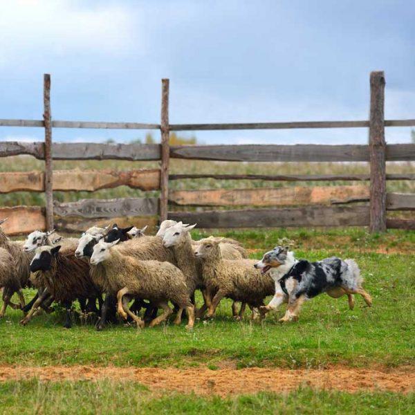 Australian Shepherd mit einer Herde Schafe