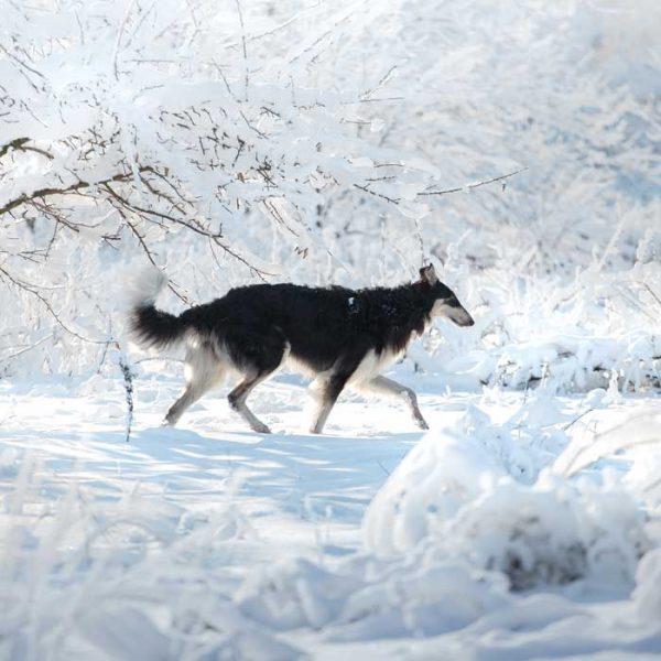 Russischer Barsoi im Schnee