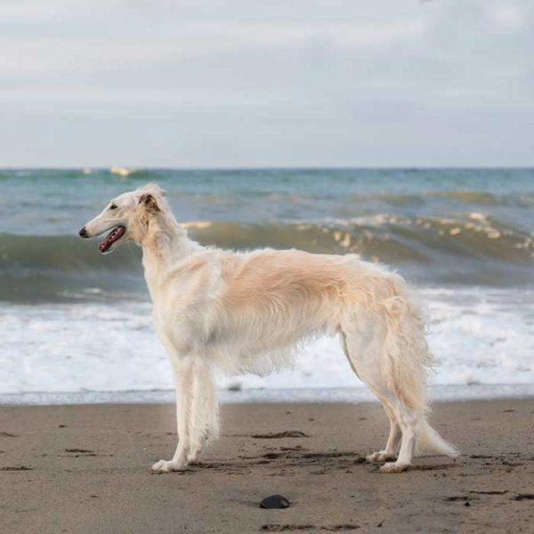 Weißer Barsoi am Strand