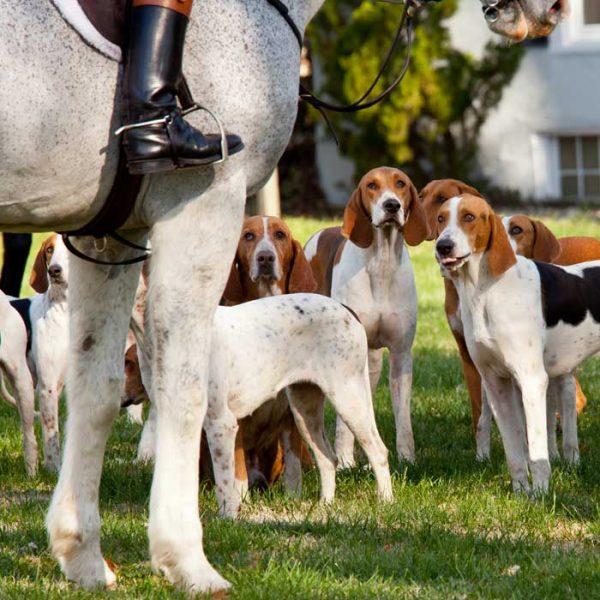 American Foxhound vor der Jagd