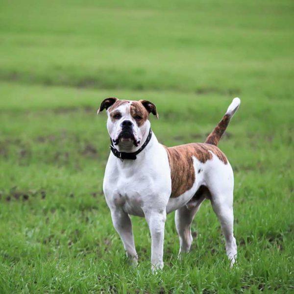 American Bulldog Ganzkörper