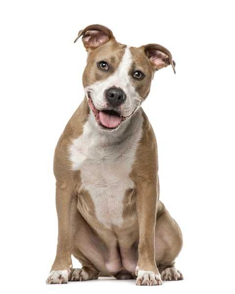 Staffordshire terrier mit 6 monaten