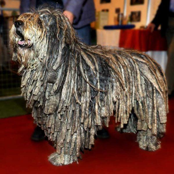 Bergamasker Hirtenhund bei einer Ausstellung