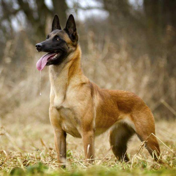 Malinois Belgischer Schäferhund