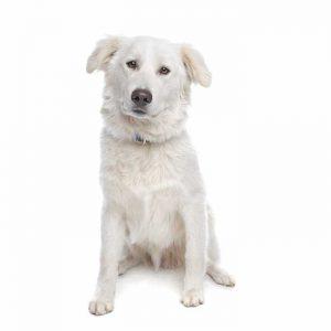 Aidi hund