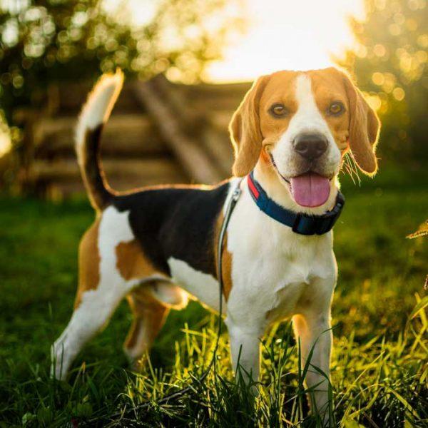 Beagle im Gegenlicht