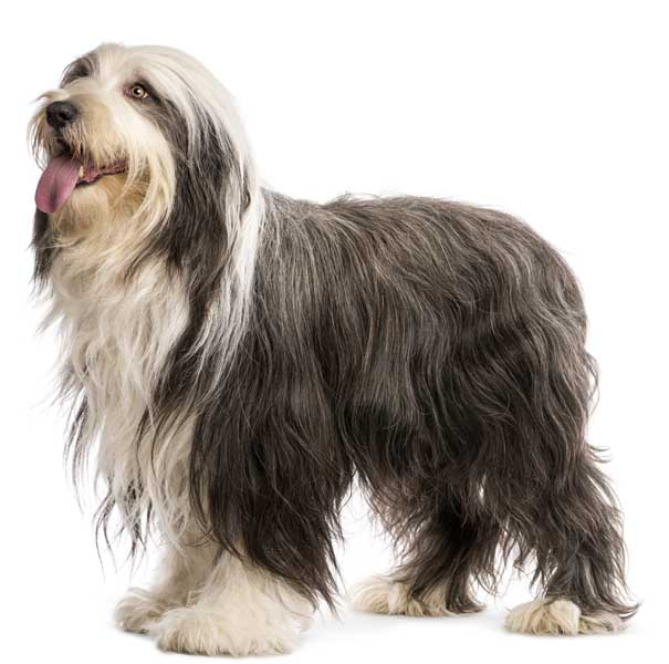Bearded Collie Isoliert