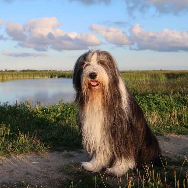 Bearded Collie draußen