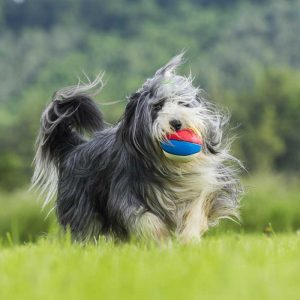 Bearded Collie beim Spielen