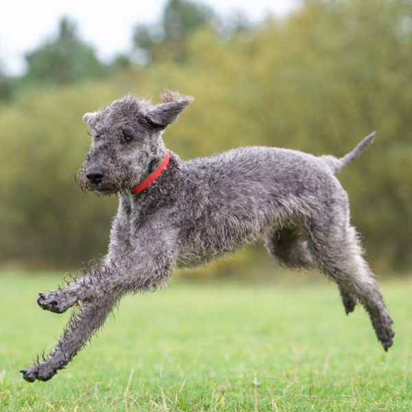Bedlington Terrier Grau