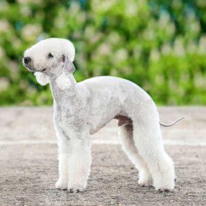 Bedlington Terrier von der Seite