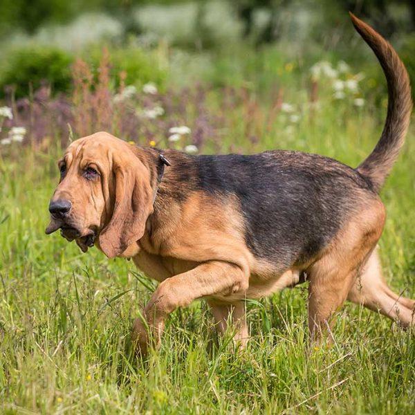 Bloodhound auf Spurensuche