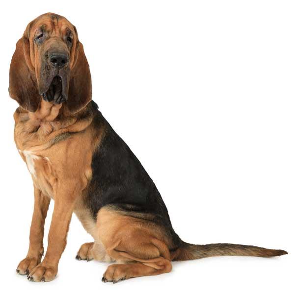 Bloodhound isoliert weisser Hintergrund