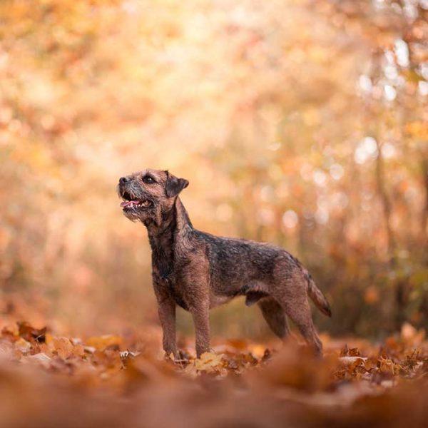 Border Terrier im Herbst im Wald