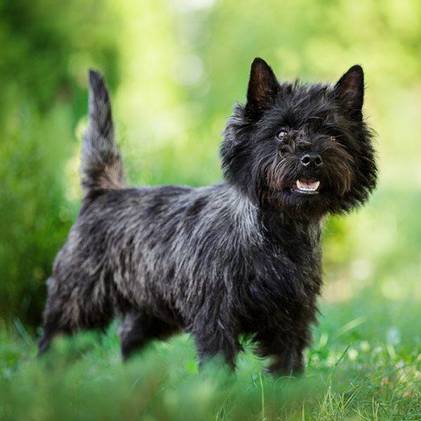 Cairn Terrier ganzkörper