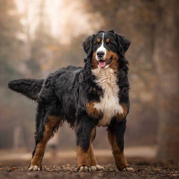 Berner Sennenhund ganz Körper Ansicht