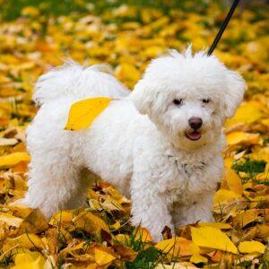 Bologneser ganzkörper im Herbst