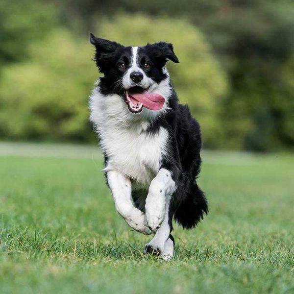 Border Collie beim Laufen