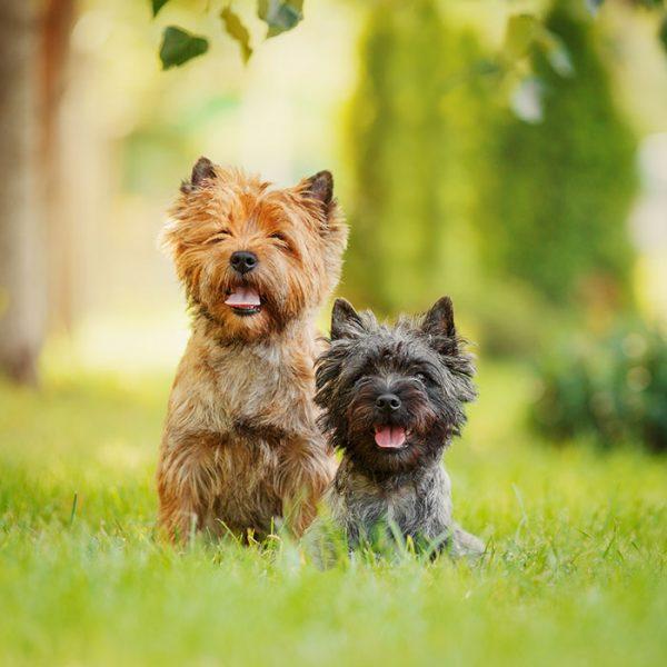 Cairn Terrier ganzkörper schwarz und braun