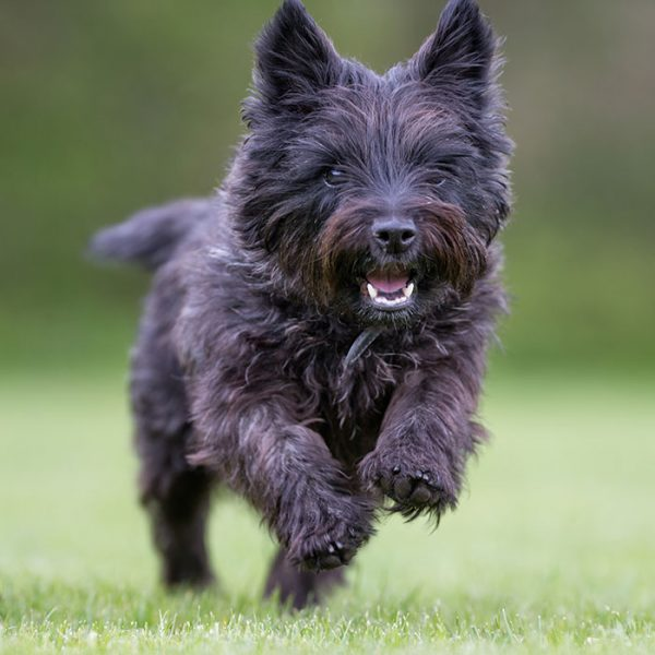Cairn Terrier sportlich