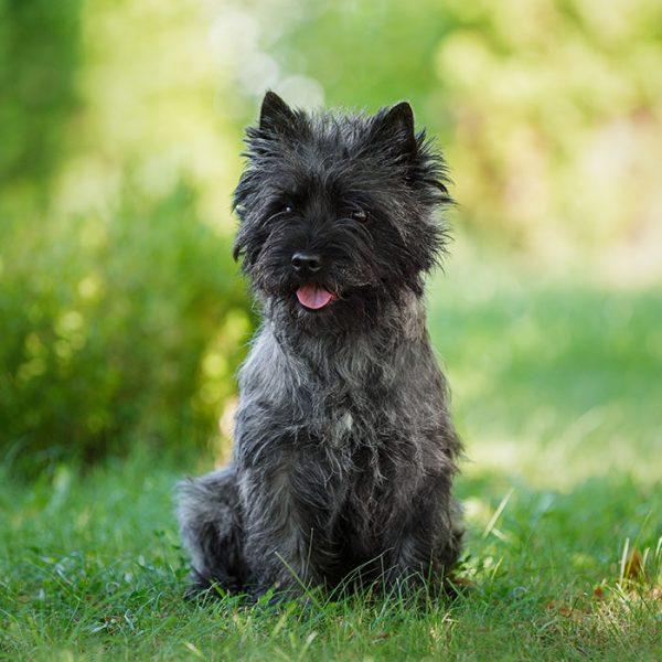 Cairn Terrier sitzernd