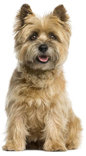 Cairn Terrier isoliert weisser hintergund