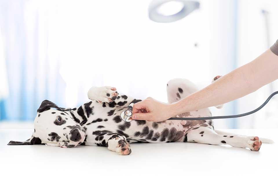 Gesundheit von kurzhaar Hunden