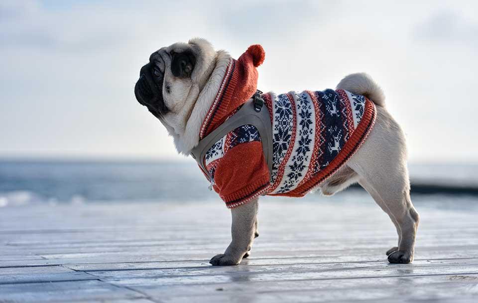 Mops - ein kurzhaar Hund mit Jacke im Winter