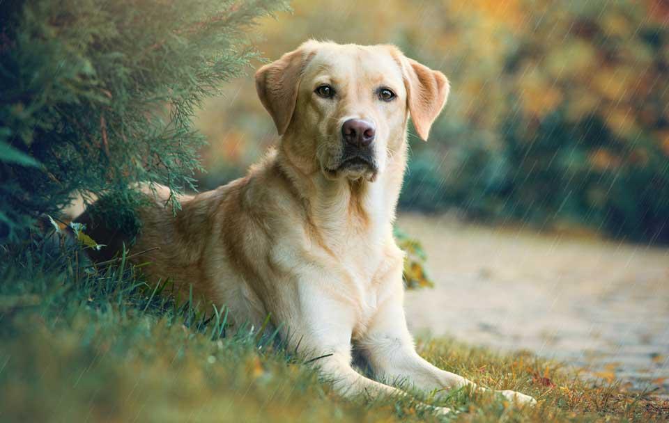 Der Labrador, ein beliebter kurzhaar Hund