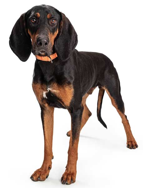 Black and Tan Coonhound isoliert