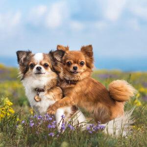 Zwei Chihuahua geben sich eine Umarmung