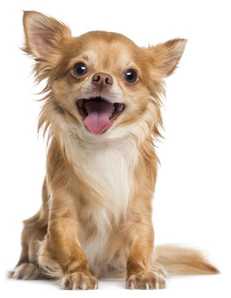 Chihuahua weisser Hintergrund