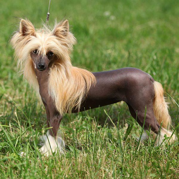 Chinesischer Schopfhund blond